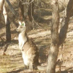 Macropus giganteus (Eastern Grey Kangaroo) at Stirling Park - 2 Jul 2017 by MichaelMulvaney