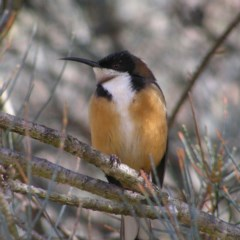 Acanthorhynchus tenuirostris (Eastern Spinebill) at ANBG - 9 Jul 2017 by MatthewFrawley