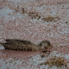 Anas gracilis (Grey Teal) at Jerrabomberra Wetlands - 9 Jul 2017 by SallyandPeter