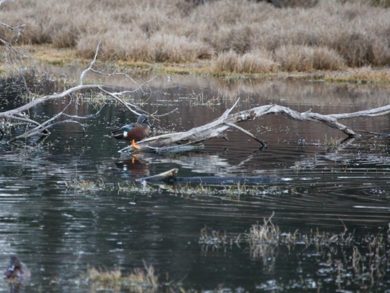 Spatula rhynchotis at Jerrabomberra Wetlands - 9 Jul 2017