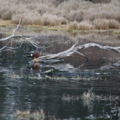 Spatula rhynchotis (Australasian Shoveler) at Jerrabomberra Wetlands - 9 Jul 2017 by SallyandPeter