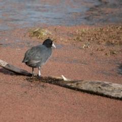 Fulica atra at Jerrabomberra Wetlands - 9 Jul 2017