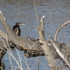 Anhinga novaehollandiae at Jerrabomberra Wetlands - 9 Jul 2017