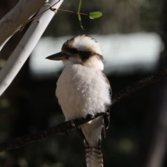 Dacelo novaeguineae (Laughing Kookaburra) at Tidbinbilla Nature Reserve - 25 Jun 2017 by Alison Milton