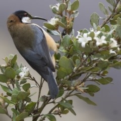 Acanthorhynchus tenuirostris (Eastern Spinebill) at ANBG - 16 Jun 2017 by Alison Milton