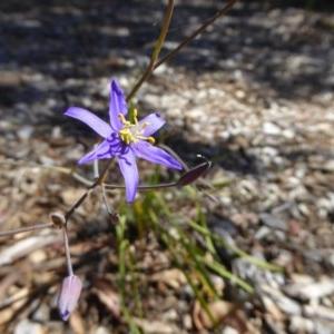 Thelionema caespitosum at Sth Tablelands Ecosystem Park - 1 Dec 2016
