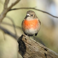 Petroica boodang (Scarlet Robin) at Canberra Central, ACT - 10 Jul 2017 by Qwerty