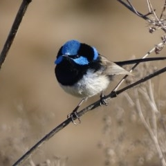 Malurus cyaneus (Superb Fairywren) at Jerrabomberra Wetlands - 12 Jul 2017 by roymcd