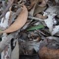 Cyanicula caerulea at Aranda Bushland - 10 Jul 2017