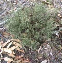 Daviesia genistifolia (Broom Bitter Pea) at Wamboin, NSW - 15 Jul 2017 by LSP