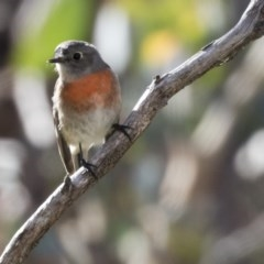 Petroica boodang (Scarlet Robin) at The Pinnacle - 21 May 2017 by Alison Milton