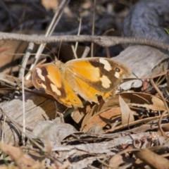 Heteronympha merope (Common Brown) at The Pinnacle - 16 Apr 2017 by Alison Milton