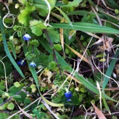 Veronica persica (Creeping Speedwell) at Hughes Garran Woodland - 16 Jul 2017 by ruthkerruish
