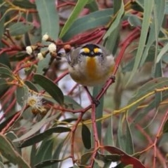 Pardalotus striatus (Striated Pardalote) at Wandiyali-Environa Conservation Area - 18 Aug 2016 by Wandiyali