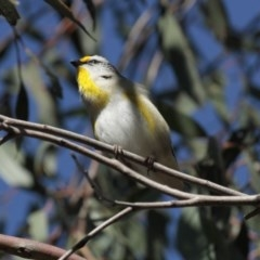 Pardalotus striatus (Striated Pardalote) at ANBG - 30 Aug 2014 by Alison Milton