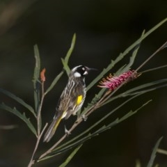 Phylidonyris novaehollandiae (New Holland Honeyeater) at ANBG - 30 Aug 2014 by Alison Milton