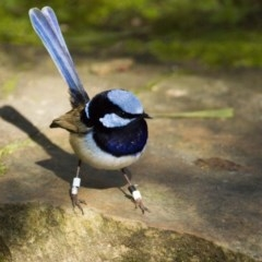 Malurus cyaneus (Superb Fairywren) at ANBG - 30 Aug 2014 by Alison Milton
