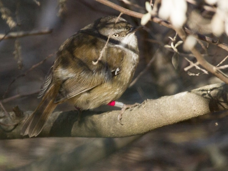 Sericornis frontalis at Canberra Central, ACT - 30 Aug 2014