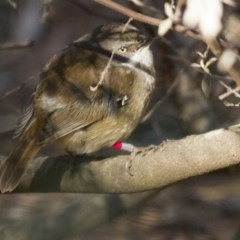 Sericornis frontalis (White-browed Scrubwren) at ANBG - 30 Aug 2014 by Alison Milton