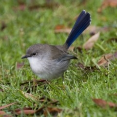 Malurus cyaneus (Superb Fairywren) at ANBG - 5 Jun 2015 by Alison Milton