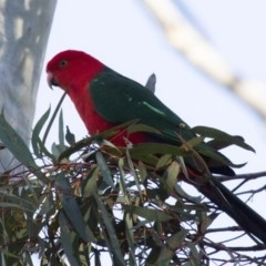 Alisterus scapularis (Australian King-Parrot) at ANBG - 26 Jun 2015 by Alison Milton
