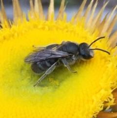 Lasioglossum (Chilalictus) lanarium (Halictid bee) at Dryandra St Woodland - 1 Nov 2015 by ibaird
