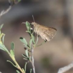 Trapezites phigalia (Heath Ochre) at Black Mountain - 24 Oct 2015 by ibaird