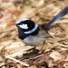 Malurus cyaneus (Superb Fairywren) at ANBG - 27 Aug 2016 by Alison Milton