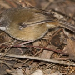 Sericornis frontalis (White-browed Scrubwren) at ANBG - 27 Aug 2016 by Alison Milton