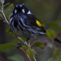 Phylidonyris novaehollandiae (New Holland Honeyeater) at ANBG - 26 Aug 2016 by Alison Milton