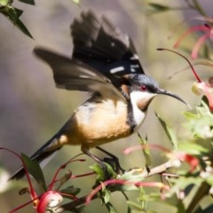 Acanthorhynchus tenuirostris (Eastern Spinebill) at ANBG - 27 Aug 2016 by Alison Milton