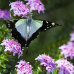 Graphium macleayanum (Macleay's Swallowtail) at Canberra Central, ACT - 26 Nov 2016 by Alison Milton