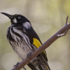 Phylidonyris novaehollandiae (New Holland Honeyeater) at ANBG - 26 Nov 2016 by Alison Milton