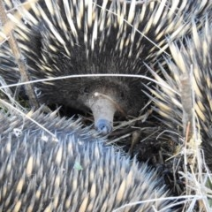 Tachyglossus aculeatus (Short-beaked Echidna) at Hackett, ACT - 17 Jul 2017 by Qwerty