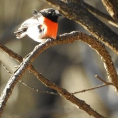 Petroica boodang (Scarlet Robin) at Canberra Central, ACT - 17 Jul 2017 by Qwerty