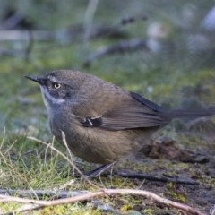 Sericornis frontalis (White-browed Scrubwren) at Jerrabomberra Wetlands - 21 Jul 2017 by Alison Milton