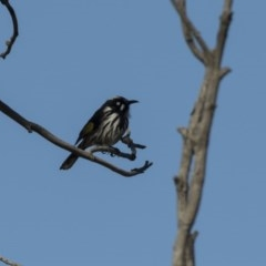 Phylidonyris novaehollandiae (New Holland Honeyeater) at Jerrabomberra Wetlands - 21 Jul 2017 by Alison Milton