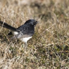 Rhipidura leucophrys (Willie Wagtail) at Jerrabomberra Wetlands - 21 Jul 2017 by Alison Milton