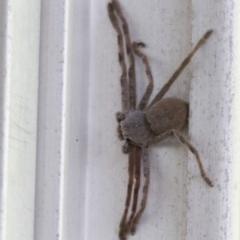 Isopeda sp.(genus) (Huntsman Spider) at Higgins, ACT - 30 Jan 2017 by Alison Milton