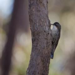 Cormobates leucophaea (White-throated Treecreeper) at Mulligans Flat - 23 Jul 2017 by SallyandPeter