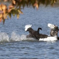 Cygnus atratus (Black Swan) at Belconnen, ACT - 18 May 2017 by AlisonMilton