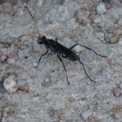 Fabriogenia sp. (genus) (Spider wasp) at Jerrabomberra Wetlands - 14 Jan 2017 by roymcd