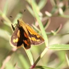 Ocybadistes walkeri (Greenish Grass-dart) at O'Connor, ACT - 16 Apr 2006 by ibaird
