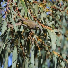 Caligavis chrysops (Yellow-faced Honeyeater) at Wandiyali-Environa Conservation Area - 22 Apr 2014 by Wandiyali