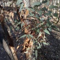 Eucalyptus blakelyi (Blakely's Red Gum) at Wanniassa Hill - 24 Jul 2017 by ArcherCallaway