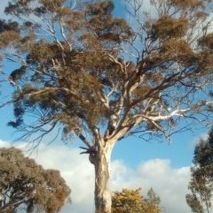 Eucalyptus melliodora (Yellow Box) at Fadden, ACT - 24 Jul 2017 by ArcherCallaway