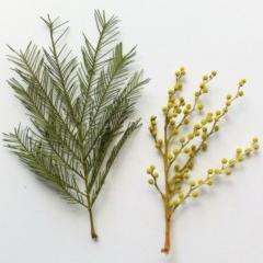 Acacia decurrens (Green Wattle) at Hughes Garran Woodland - 25 Jul 2017 by ruthkerruish
