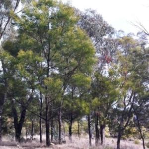 Acacia decurrens at Hughes Garran Woodland - 26 Jul 2017