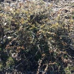 Acacia gunnii (Ploughshare Wattle) at Wamboin, NSW - 28 Jul 2017 by LSP