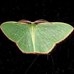 Chlorocoma dichloraria (Guenee's or Double-fringed Emerald) at Brogo, NSW - 29 Jul 2017 by MaxCampbell